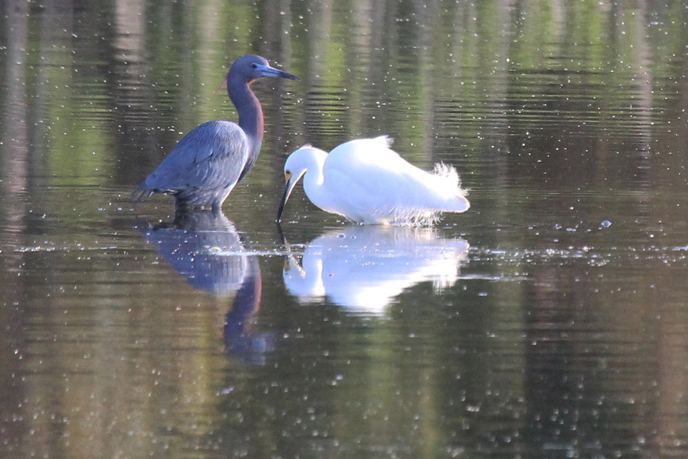 Little Blue Heron & Snowy Egret / 22 Apr / Princess Anne WMA Whitehurst Tract