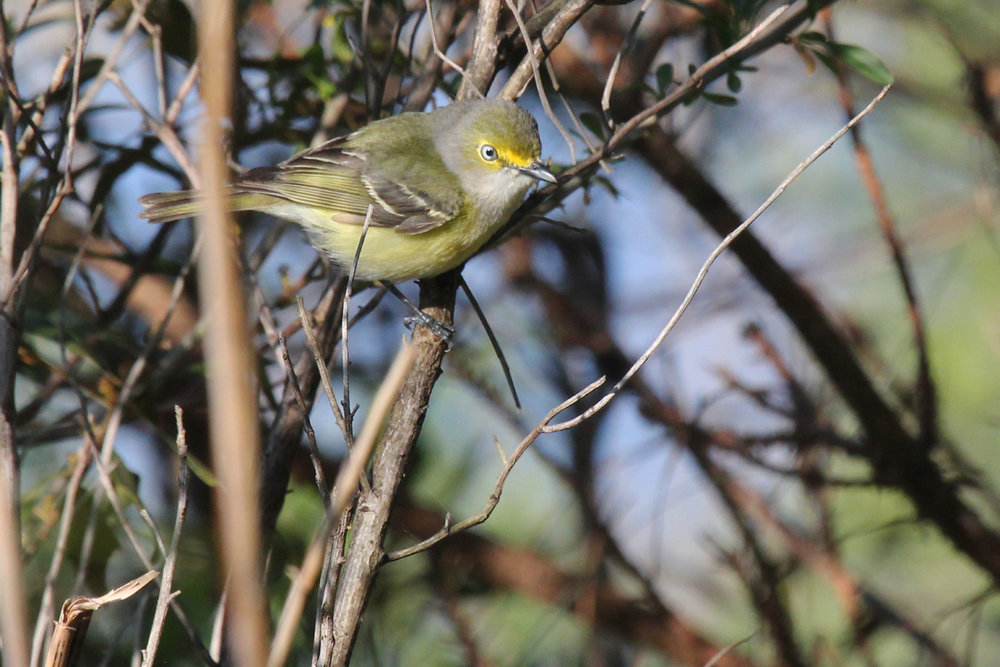 White-eyed Vireo / 22 Apr / Princess Anne WMA Whitehurst Tract