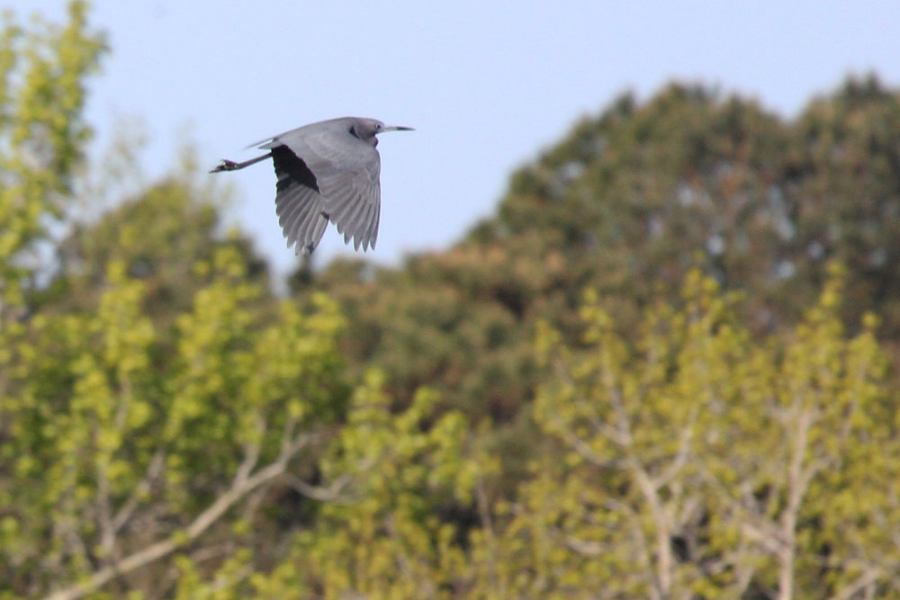 Little Blue Heron / 22 Apr / Princess Anne WMA Whitehurst Tract
