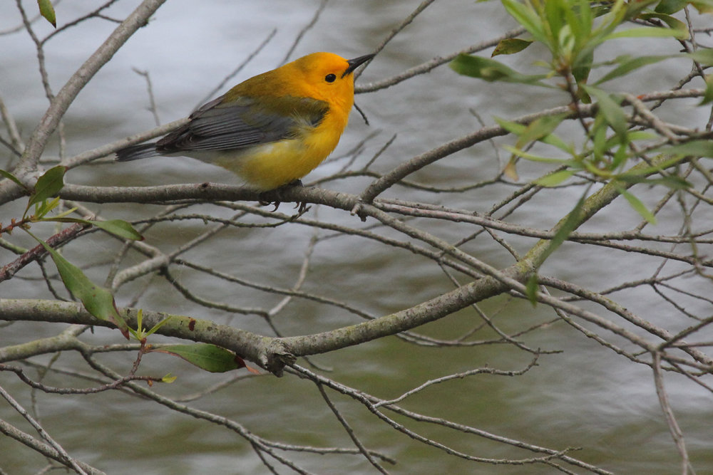 Prothonotary Warbler / 26 Apr / Stumpy Lake NA