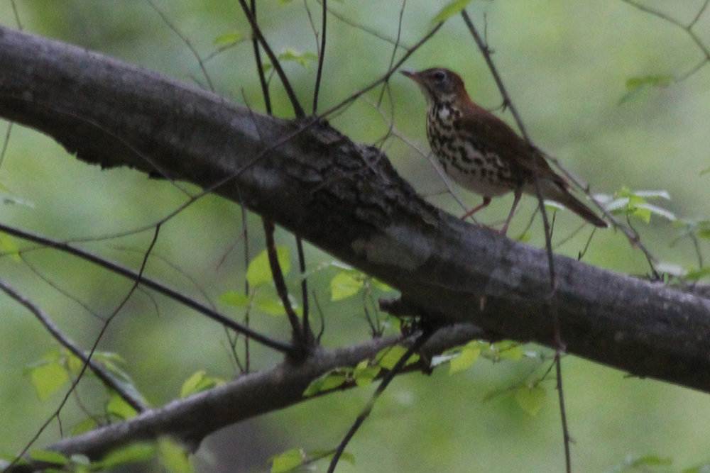 Wood Thrush / 27 Apr / Stumpy Lake NA