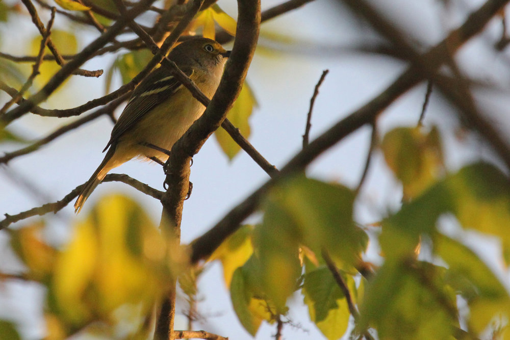 White-eyed Vireo / 27 Apr / Stumpy Lake NA