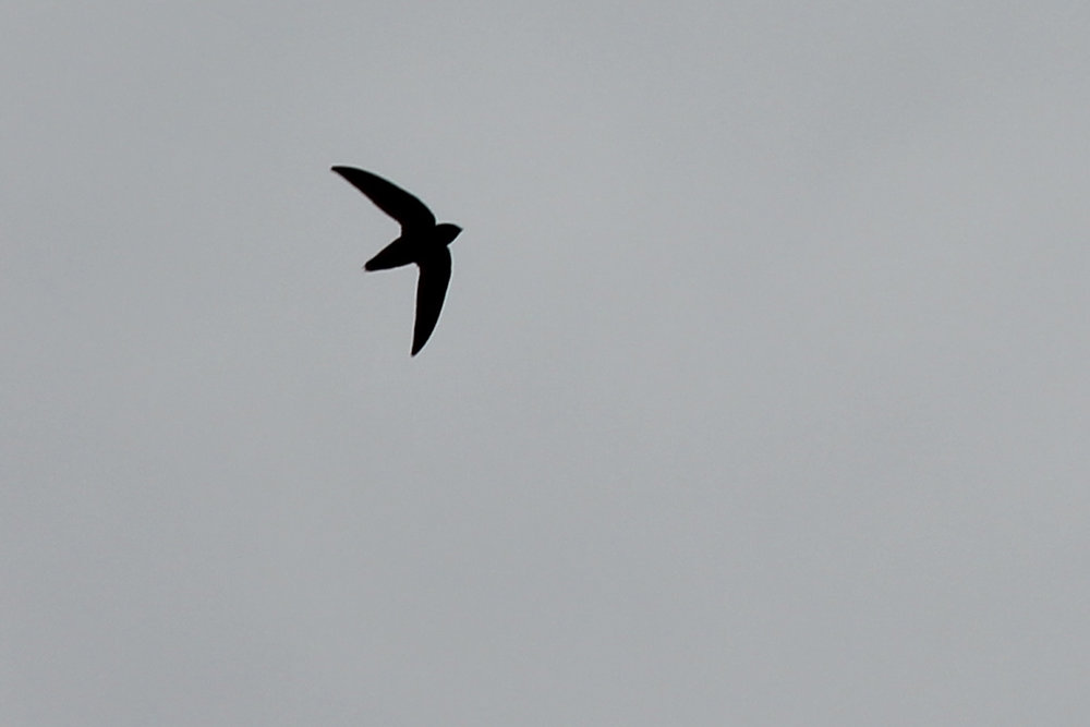 Chimney Swift / 27 Apr / Pleasure House Point NA
