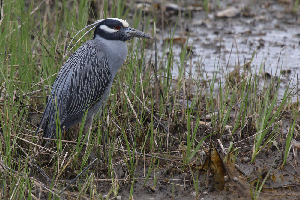 Yellow-crowned Night-Heron / 27 Apr / Pleasure House Point NA