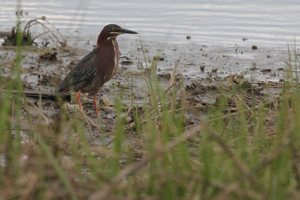 Green Heron / 27 Apr / Pleasure House Point NA