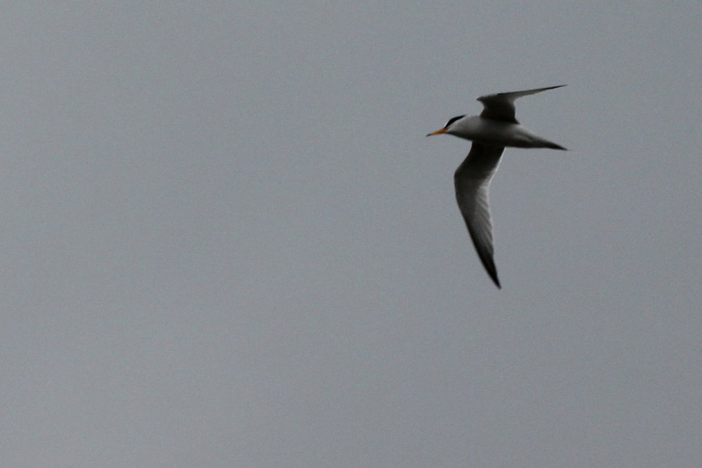 Least Tern / 27 Apr / Pleasure House Point NA