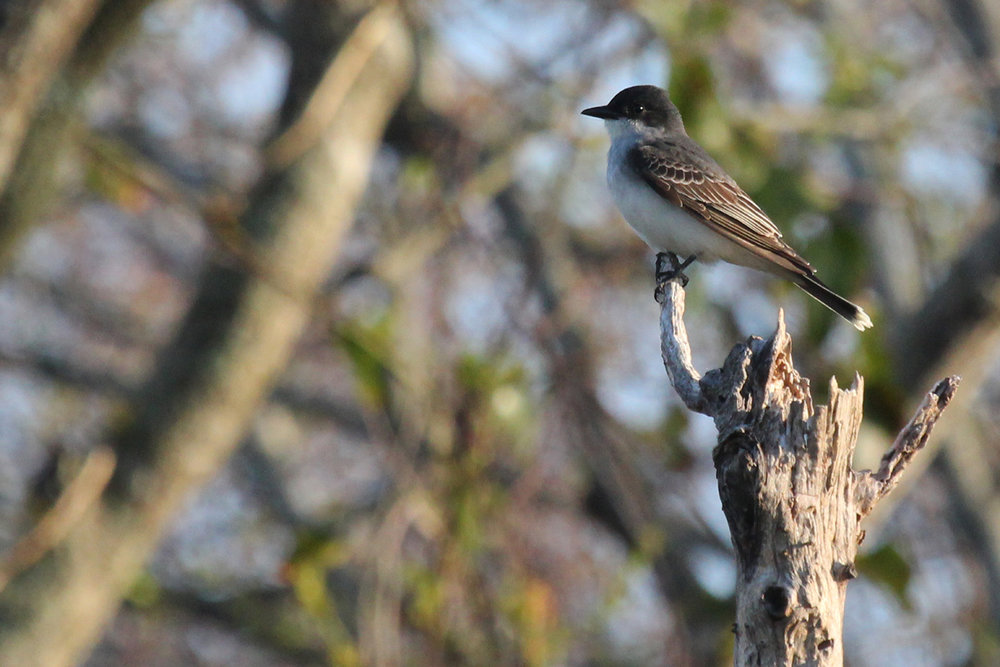 Eastern Kingbird / 28 Apr / Back Bay NWR