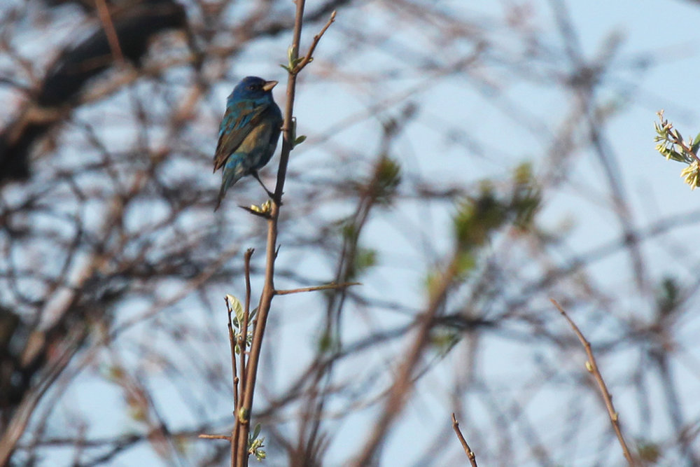 Indigo Bunting / 28 Apr / Back Bay NWR