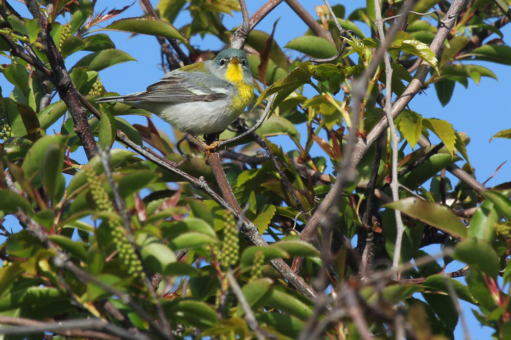 Northern Parula / 28 Apr / Back Bay NWR