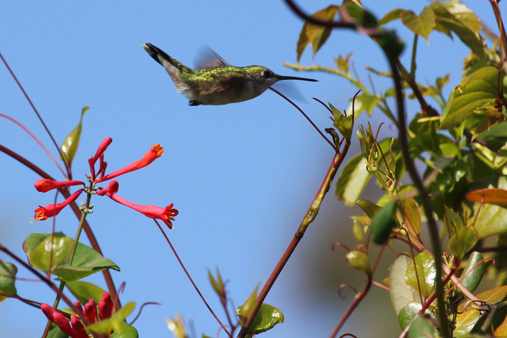 Ruby-throated Hummingbird / 28 Apr / Back Bay NWR