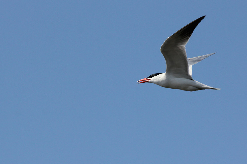 Caspian Tern / 28 Apr / Back Bay NWR