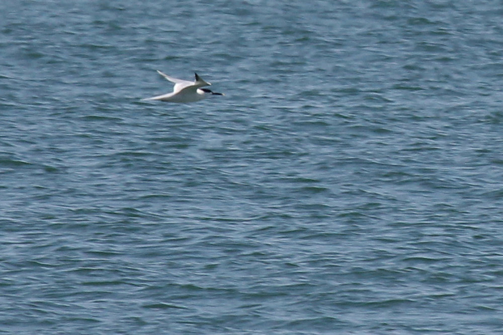 Sandwich Tern / 28 Apr / Back Bay NWR