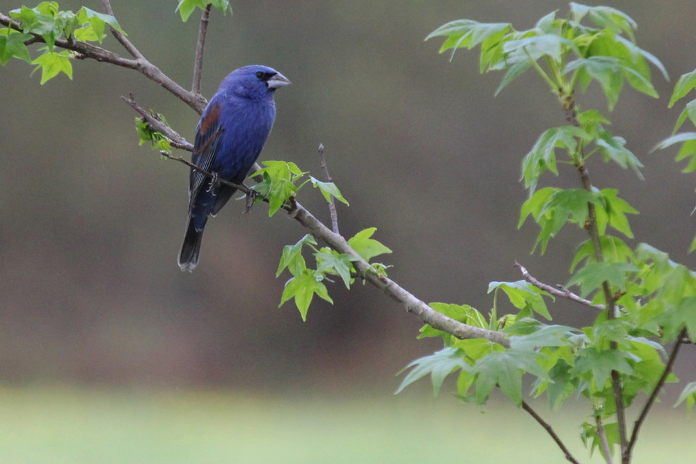 Blue Grosbeak / 28 Apr / Campbell's Landing Park