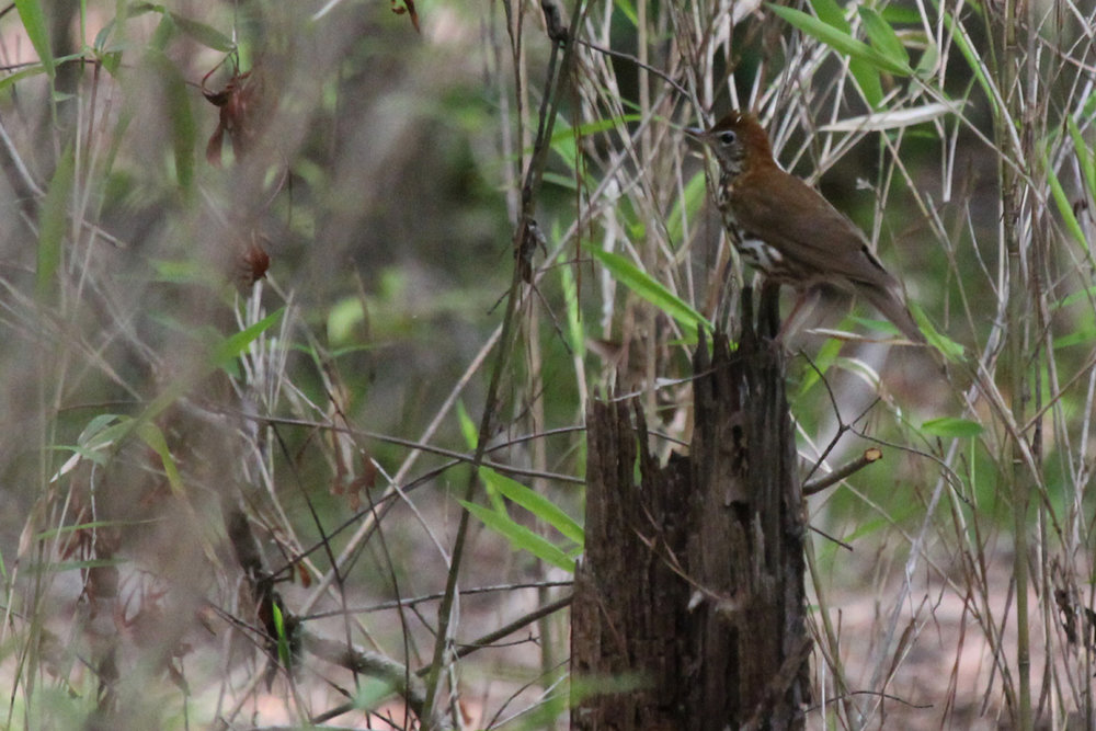 Wood Thrush / 28 Apr / Stumpy Lake NA
