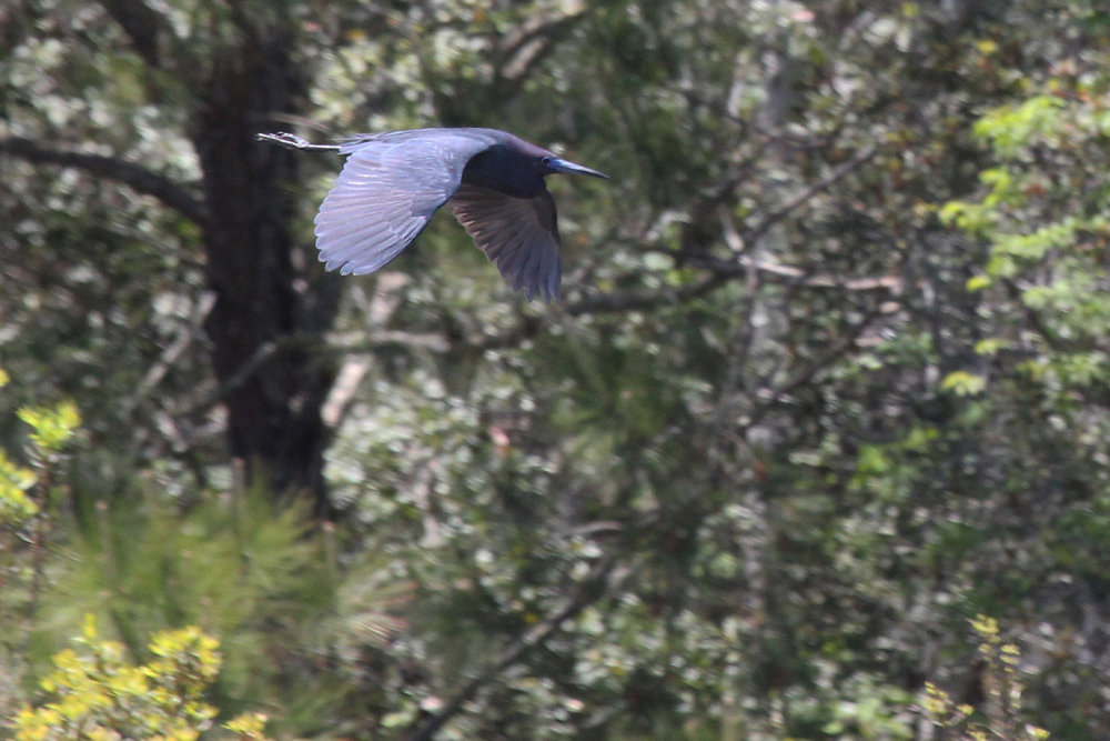 Little Blue Heron / 29 Apr / Princess Anne WMA Whitehurst Tract