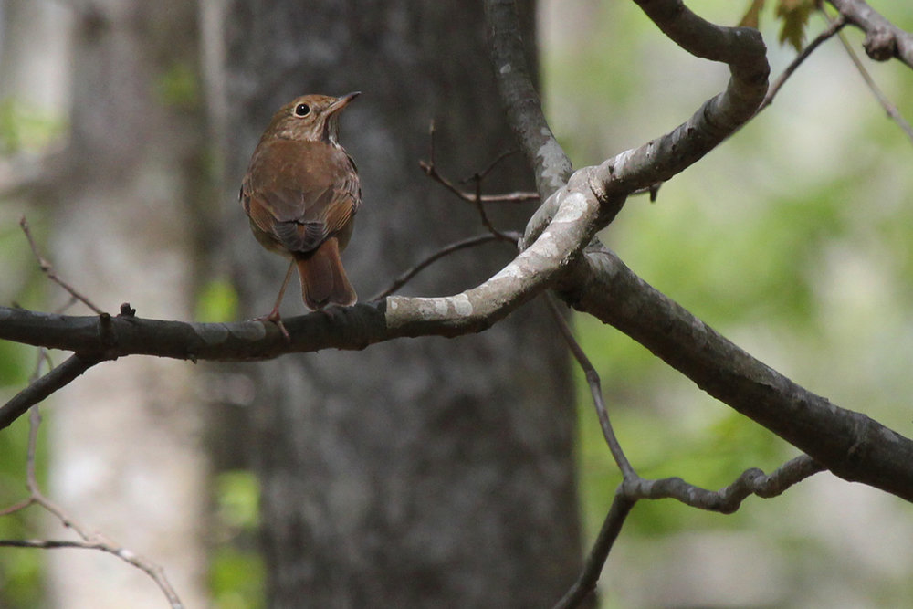 Hermit Thrush / 21 Apr / Marshview Park