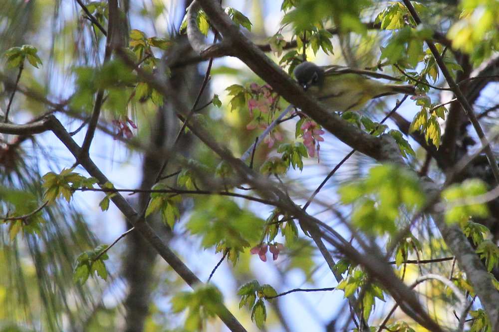Blue-headed Vireo / 21 Apr / Marshview Park