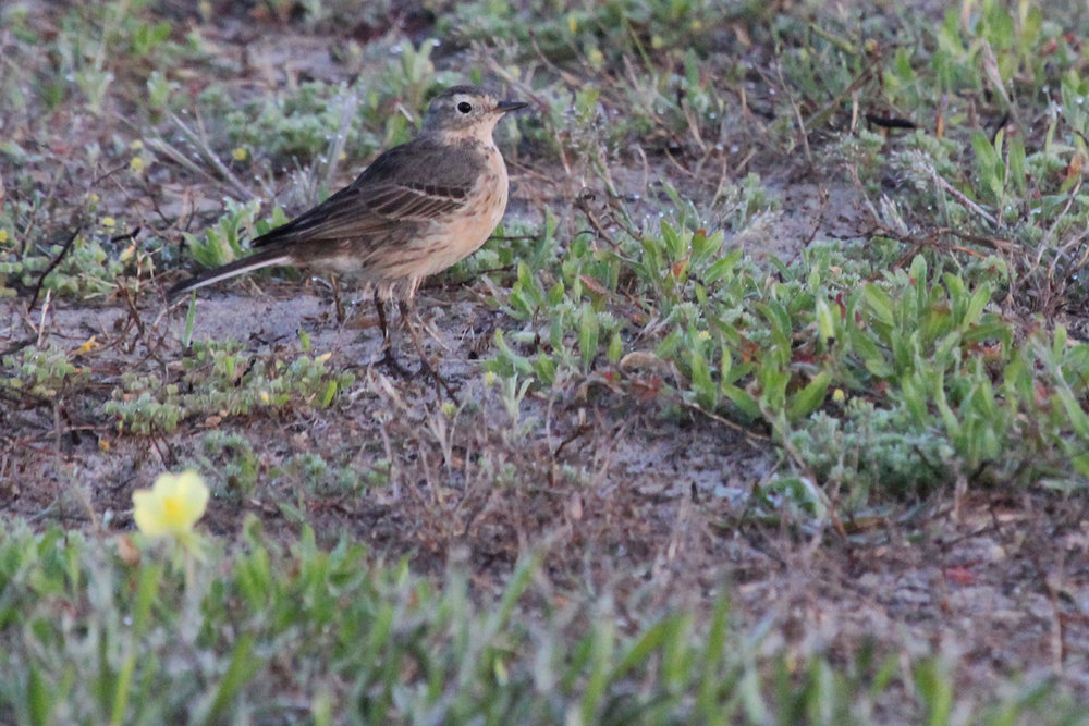 American Pipit / 28 Apr / Back Bay NWR