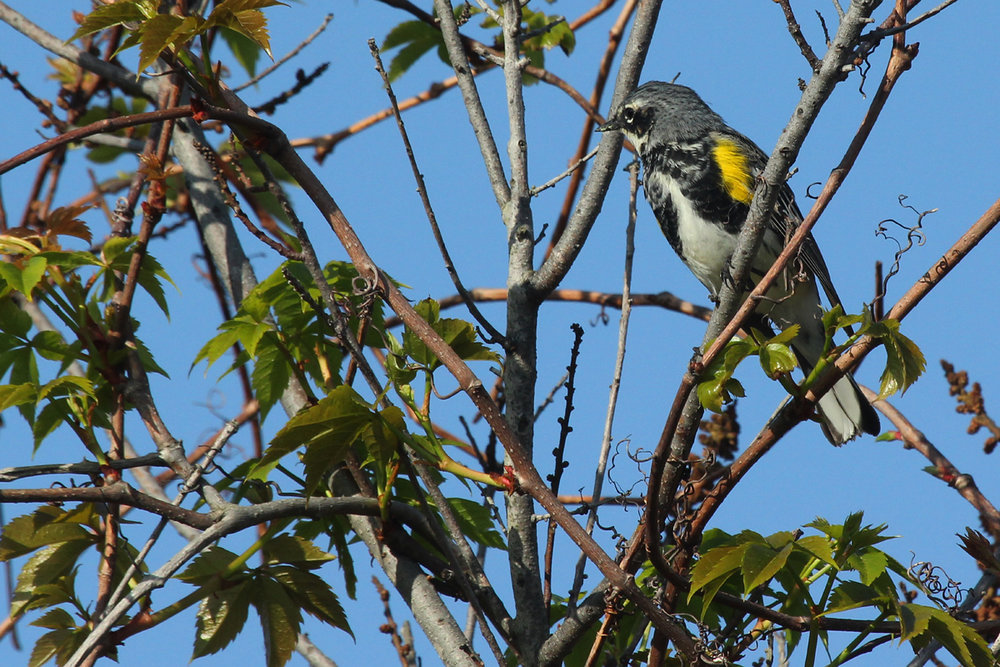 Yellow-rumped Warbler (Myrtle) / 28 Apr / Back Bay NWR