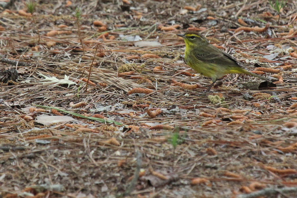 Palm Warbler (Yellow) / 28 Apr / Stumpy Lake NA