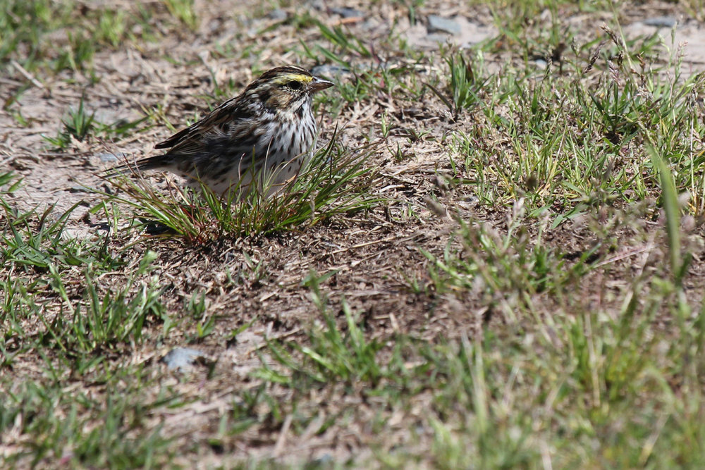Savannah Sparrow (Savannah) / 29 Apr / Princess Anne WMA Whitehurst Tract