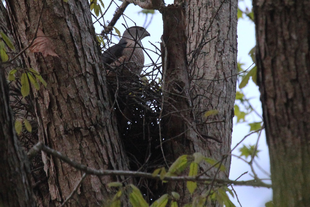 Cooper's Hawk / 21 Apr / Stumpy Lake NA