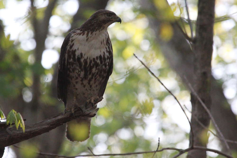 Red-tailed Hawk / 21 Apr / Stumpy Lake NA
