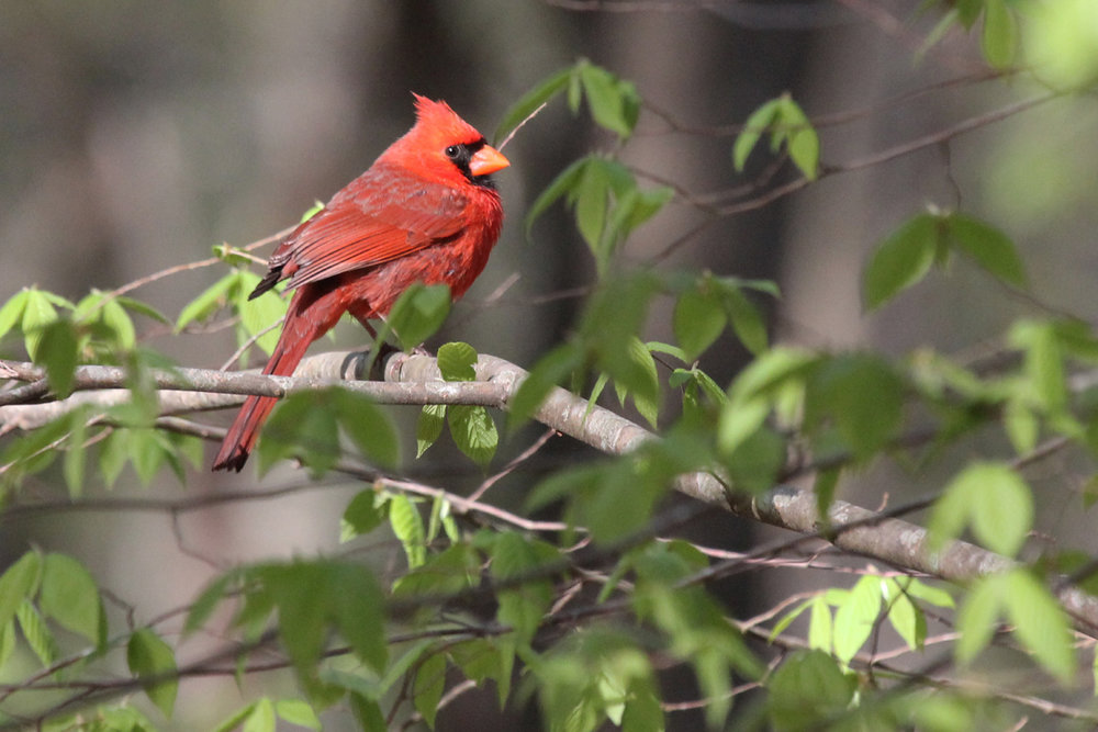 Northern Cardinal / 21 Apr / West Neck Creek NA