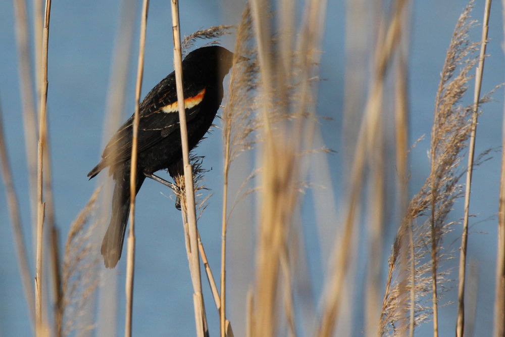 Red-winged Blackbird / 22 Apr / Princess Anne WMA Whitehurst Tract