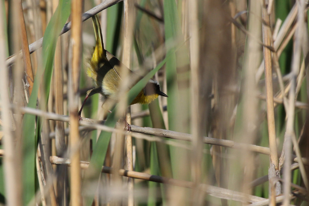 Common Yellowthroat / 22 Apr / Princess Anne WMA Whitehurst Tract