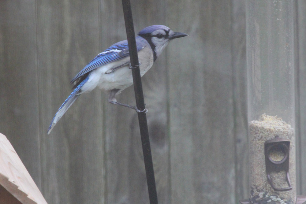 Blue Jay / 23 Apr / Courthouse Woods (Private)