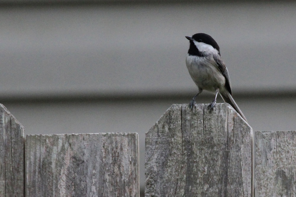 Carolina Chickadee / 23 Apr / Courthouse Woods (Private)