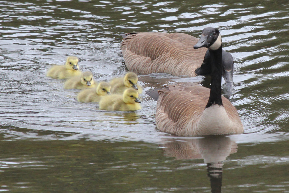 Canada Geese / 27 Apr / Sabre St.