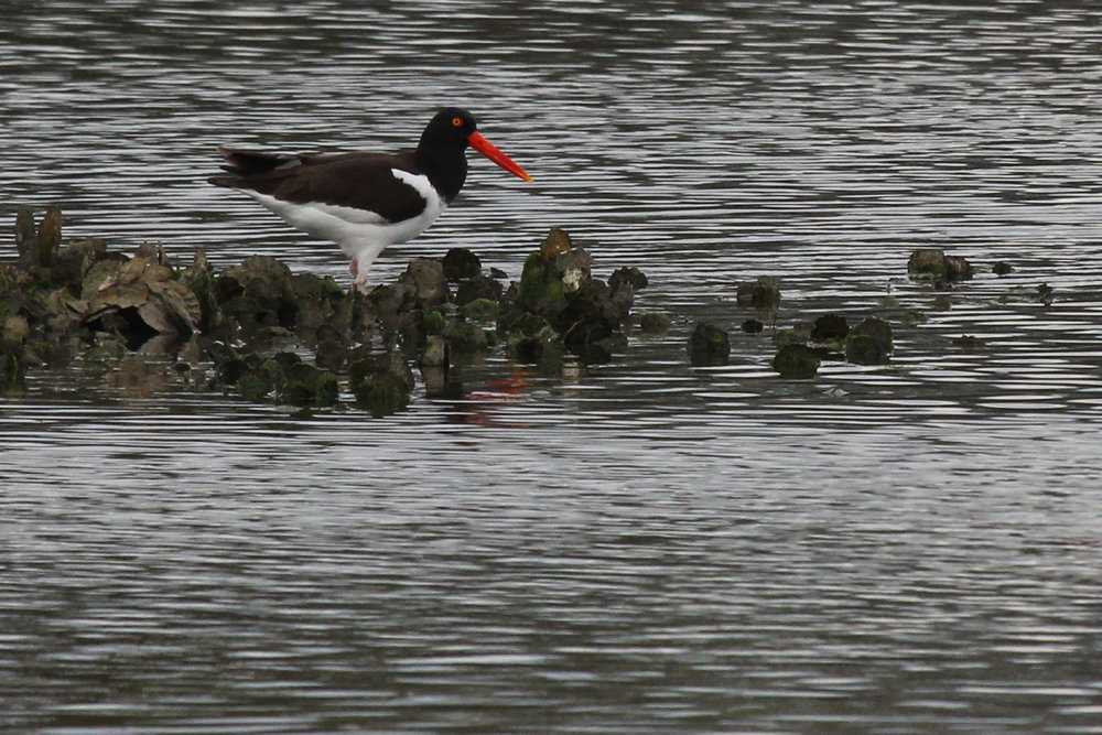 American Oystercatcher / 27 Apr / Pleasure House Point NA