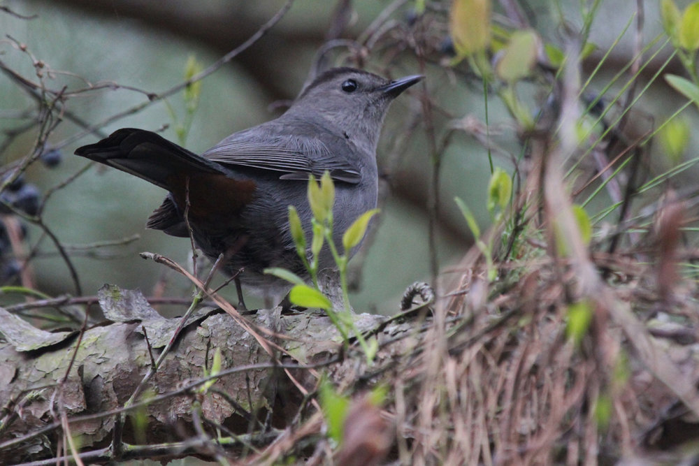 Gray Catbird / 27 Apr / Pleasure House Point NA