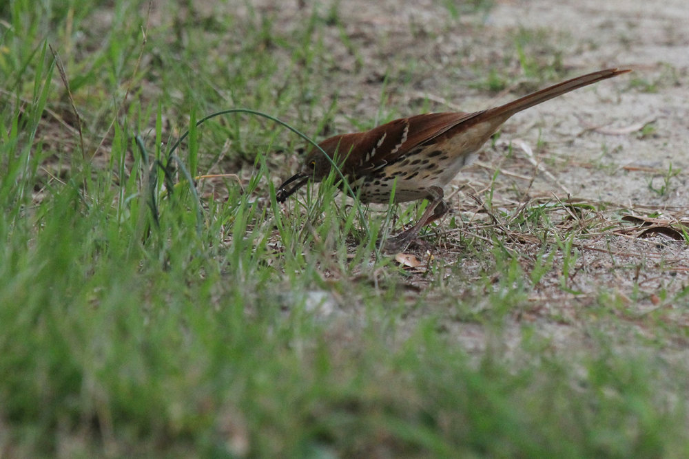 Brown Thrasher / 27 Apr / Pleasure House Point NA