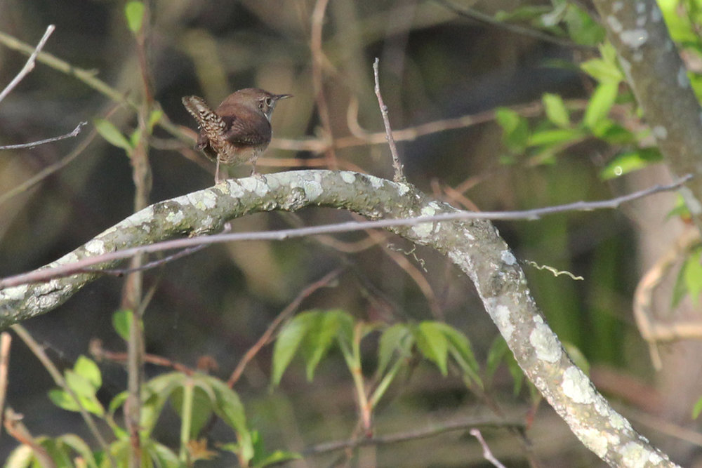 House Wren / 28 Apr / Back Bay NWR