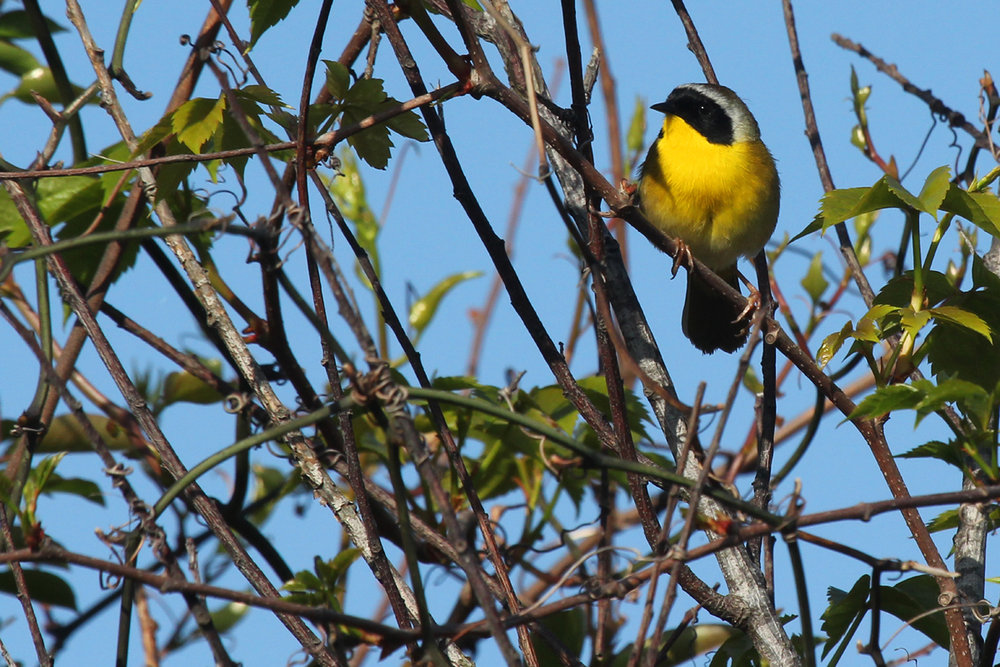 Common Yellowthroat / 28 Apr / Back Bay NWR