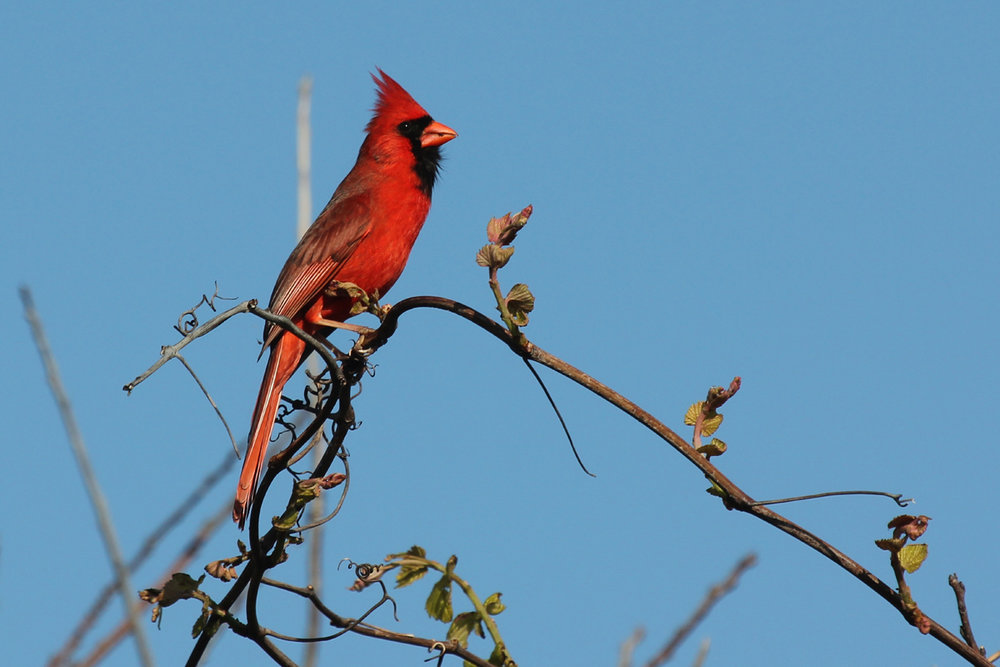 Northern Cardinal / 28 Apr / Back Bay NWR