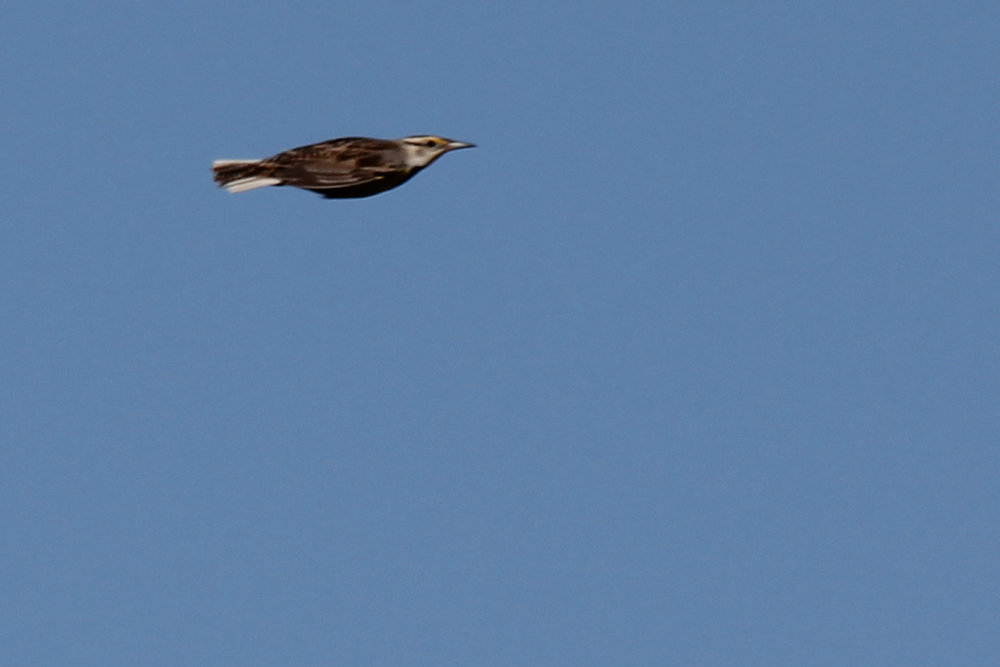 Eastern Meadowlark / 28 Apr / Back Bay NWR