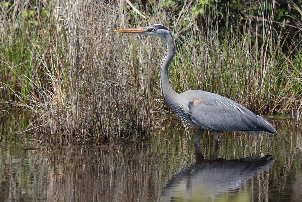 Great Blue Heron / 28 Apr / Back Bay NWR