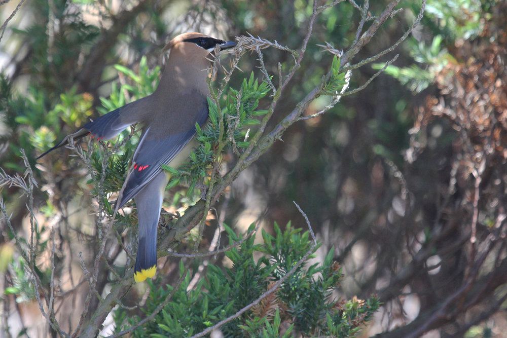 Cedar Waxwing / 28 Apr / Sandbridge