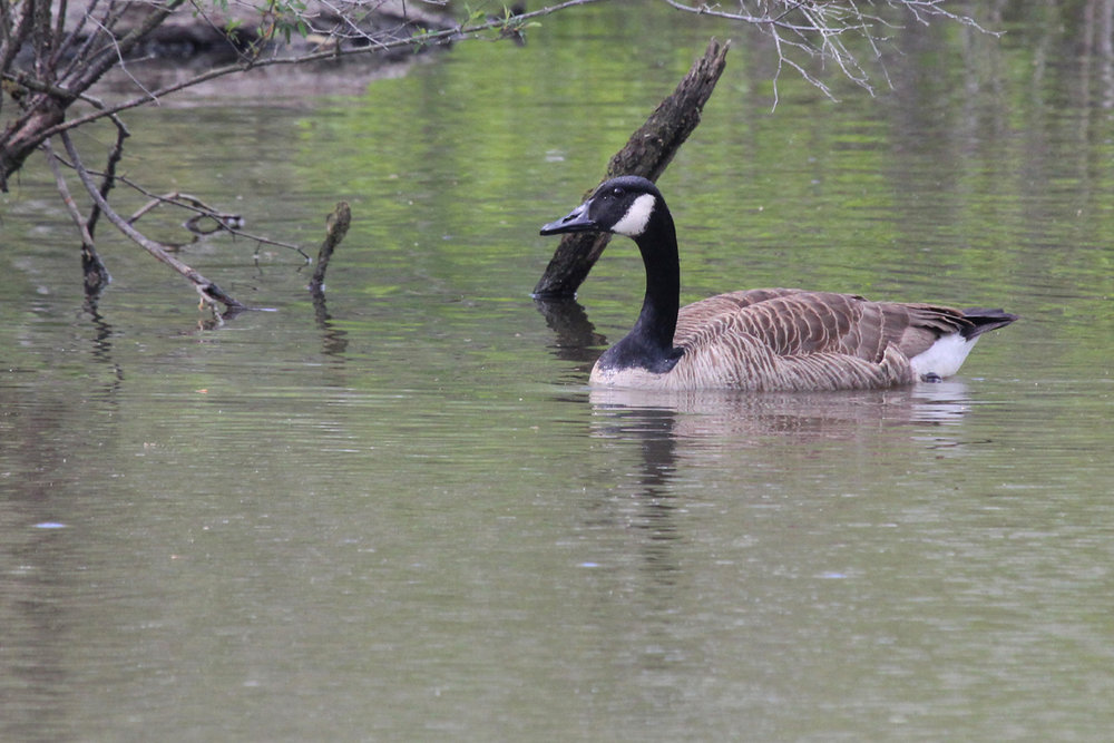 Canada Goose / 28 Apr / Stumpy Lake NA