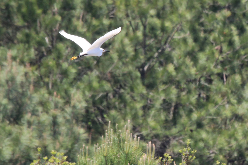 Snowy Egret / 29 Apr / Princess Anne WMA Whitehurst Tract