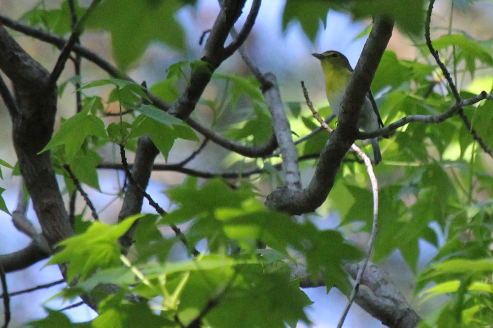 Yellow-throated Vireo / 1 May / Stumpy Lake NA