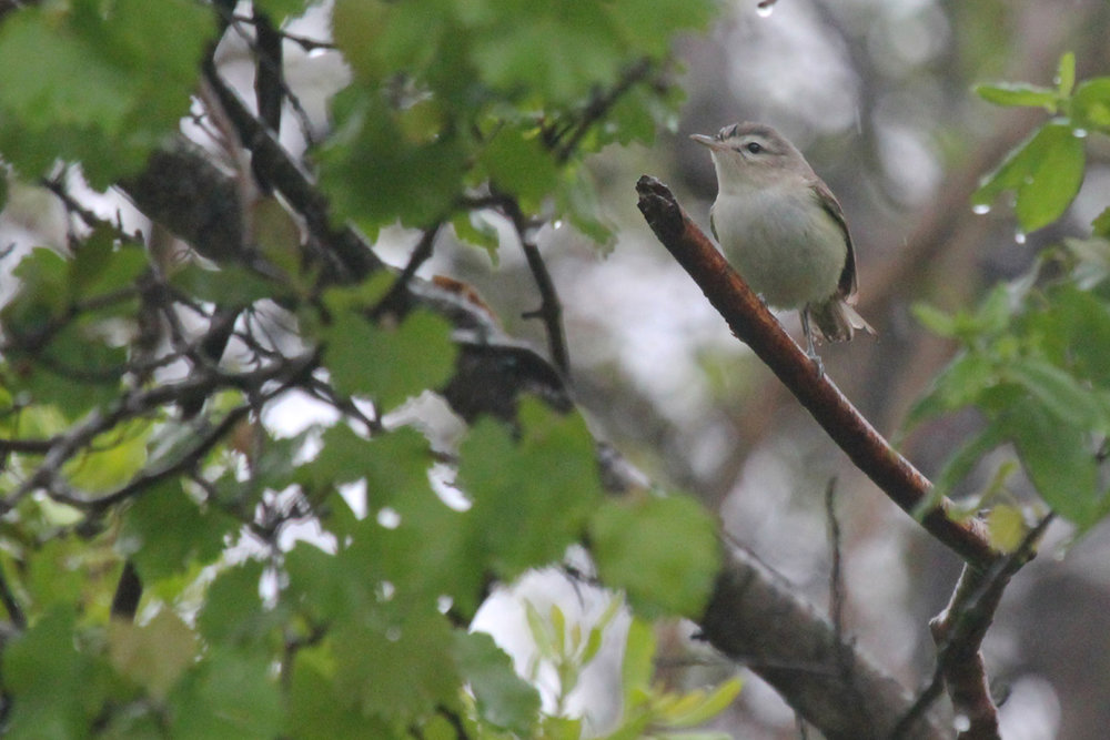 Warbling Vireo / 6 May / Back Bay NWR