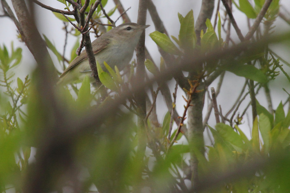 Warbling Vireo / 9 May / Back Bay NWR