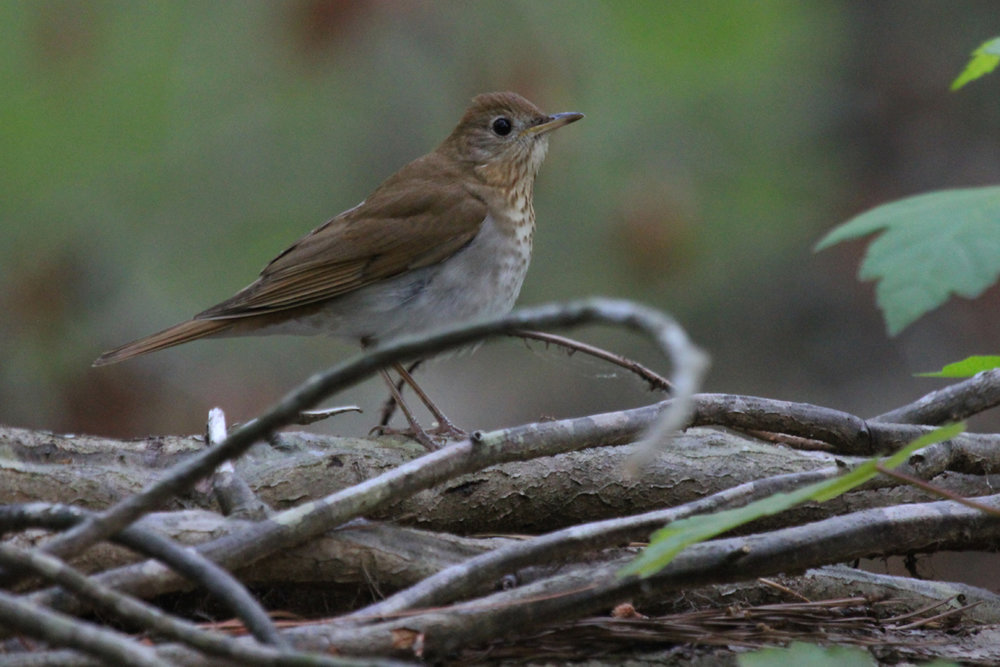 Veery / 3 May / Stumpy Lake NA