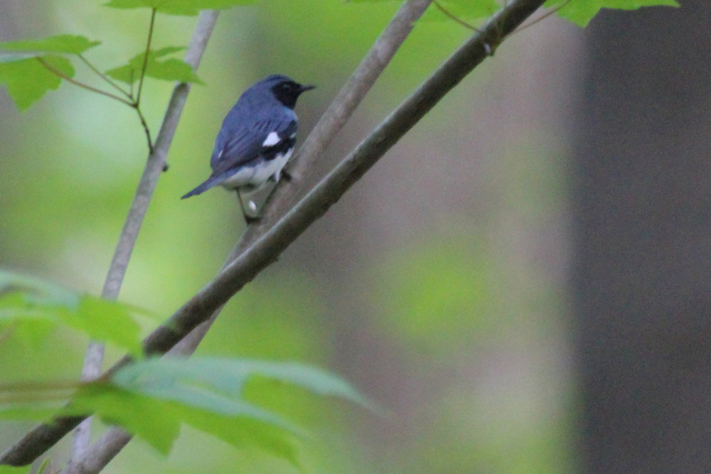 Black-throated Blue Warbler / 3 May / Stumpy Lake NA