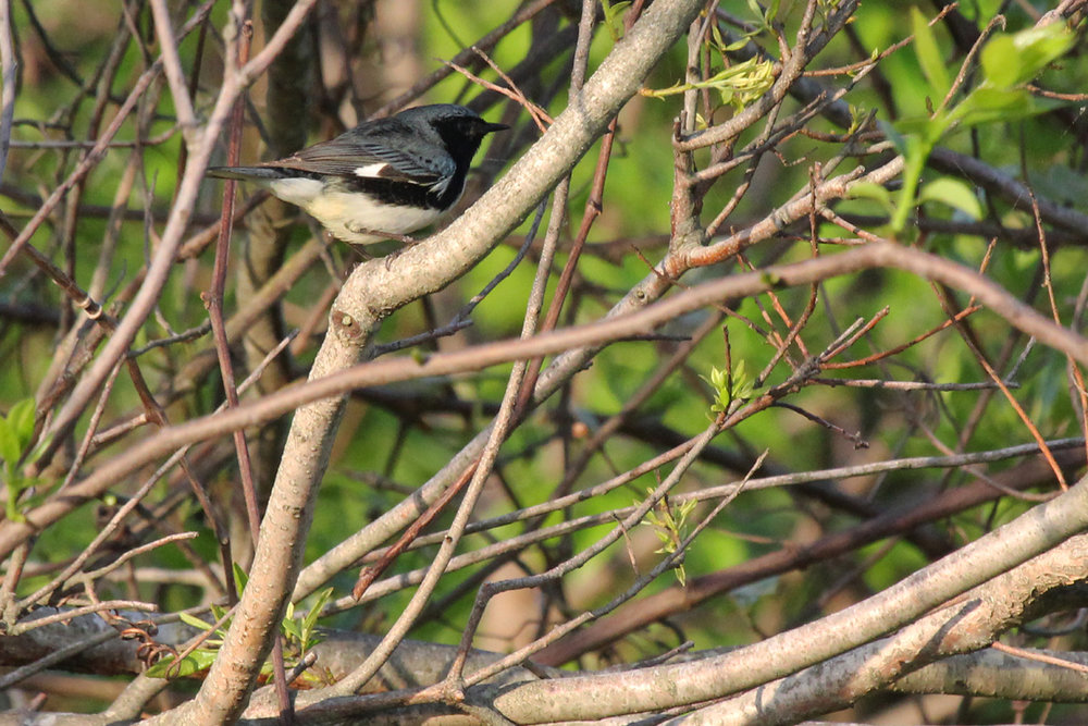 Black-throated Blue Warbler / 5 May / Back Bay NWR